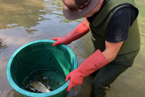 Des centaines de poissons ont été récupérés dans l'Albarine alors que certains suffoquaient déjà, piégés dans des poches d'eau de plus en plus minces.