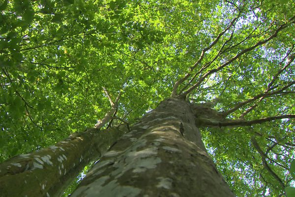 Un des arbres de la forêt de Bord (Eure)