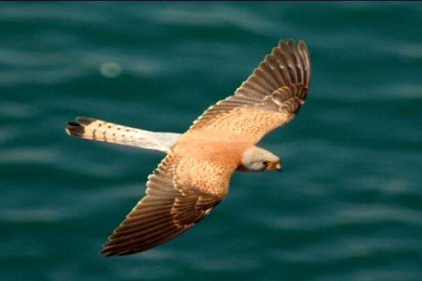 le faucon crécerelette , une des espèces protégées