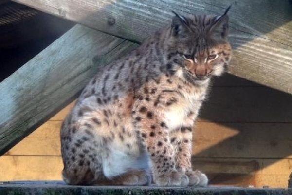 Le lynx est un animal protégé. La présence du prédateur fait débat dans le Jura.