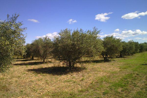 Selon  le collectif des riverains , le projet de lotissement causera l'arrachage de 500 oliviers