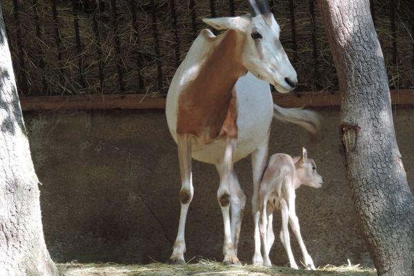 Une famille d'Oryx au zoo African Safari