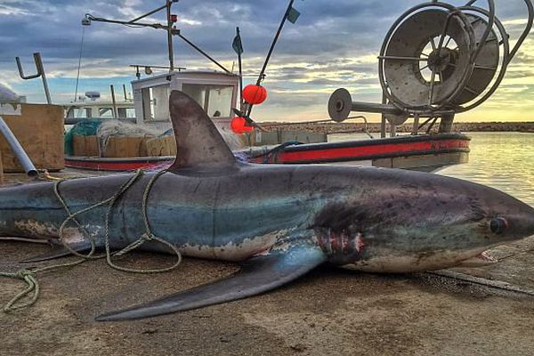 Argelès-sur-Mer (Pyrénées-Orientales) - le requin renard de 5 mètres de long et 150 kg - 17 avril 2015.