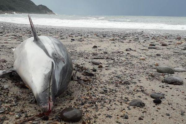 27/11/2018 - Un dauphin retrouvé mort échoué sur la plage à Porto (Corse du Sud).