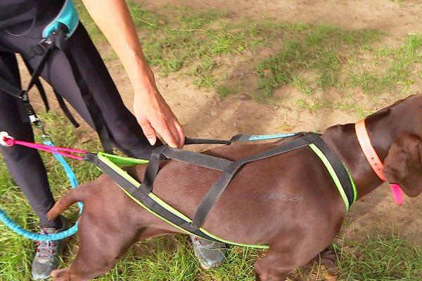 Le harnais du chien est adapté pour ne pas le gêner lors de sa course