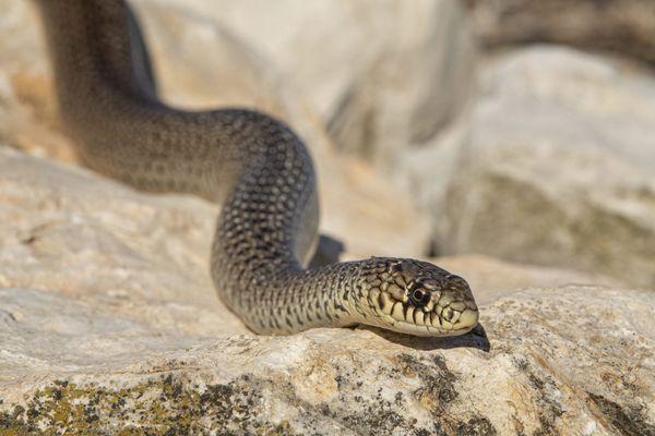 La remontée d'un serpent par les canalisations, un incident rarissime.
