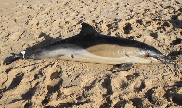 Dauphin échoué sur les plages de la côte atlantique.