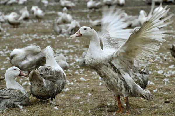 Le producteur Ernest-Soulard avait de son côté été relaxé des accusations de mauvais traitement des animaux - les juges avaient considéré que les conditions observées correspondaient à celles de la production de foie gras.