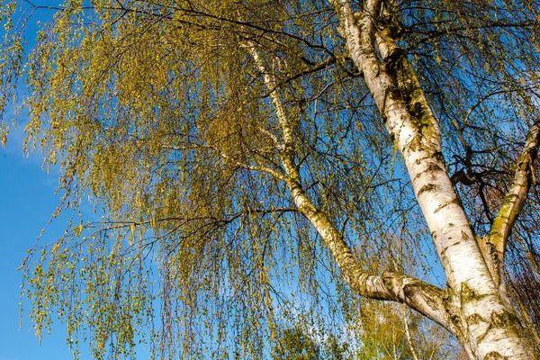 L'arrivée du printemps est aussi synonyme d'allergies aux pollens de bouleau en France (archives)