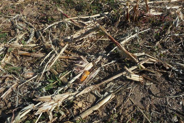 Un champs de maïs détruit par le passage d'un sanglier en Aveyron.
