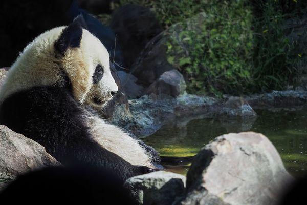 Huan-Meng, le jeune panda du ZooParc de Beauval, ne voit plus de visiteurs depuis le début du confinement.