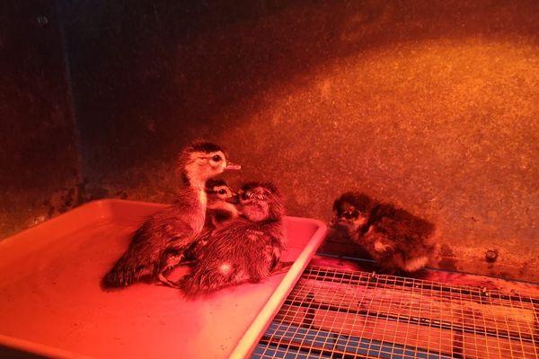 De nombreuses naissances ont eu lieu au zoo du parc du Château pendant le confinement, comme ces canards