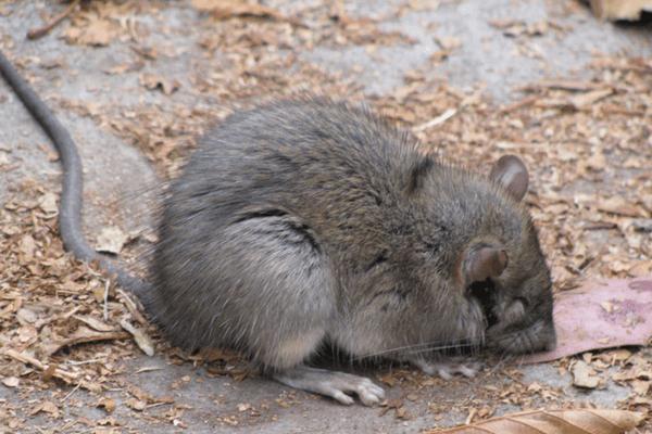 Le problème avec les chats d'Avignon, c'est qu'ils ne s'intéressent plus du tout aux rats...