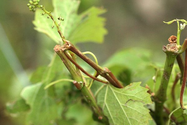 Les dégâts de la grêle sur les vignes dans le sud Ardèche (images archives)