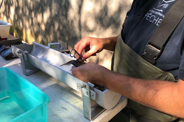 Quelques écailles sont prélevées délicatement  sur la truite sous anesthésie pour quelques dizaines de minutes