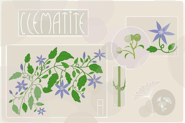 Planche botanique de la clématite revue par Florence Houvet