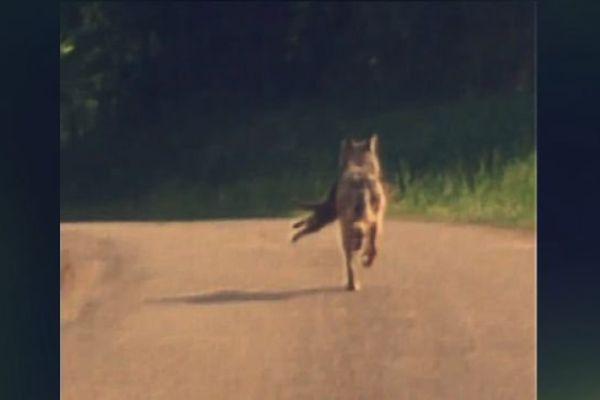 Le 29 avril à 18h, une femme en voiture filme devant elle ce qui semble être un loup.