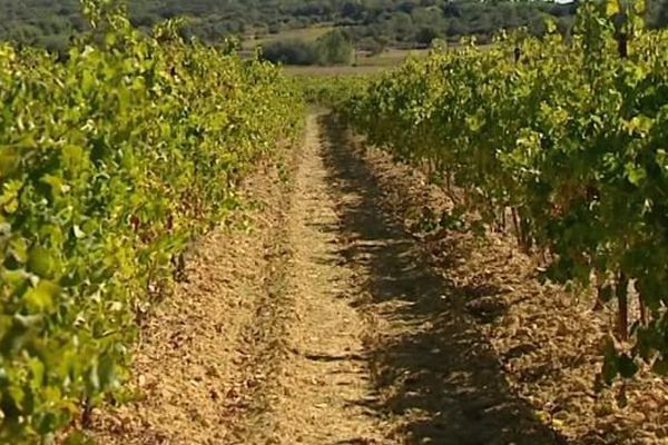 Le président des viticulteurs du Pays d'Oc interpelle le ministère de l'Agriculture sur les cépages résistants - 3 octobre 2016