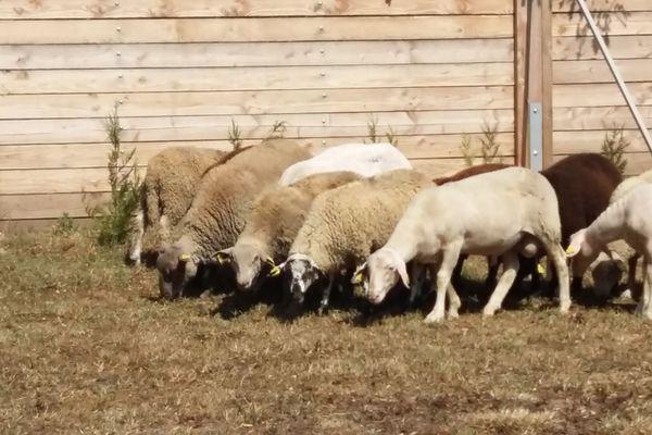 La SPA de Lyon propose des moutons à l'adoption