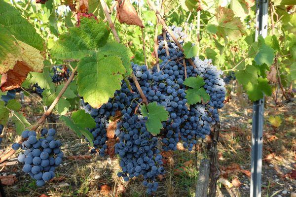 L'Inrae a créé par hybridation la variété de vigne Artaban. Un nom qui sonne un peu mousquetaire, pour refléter sa protection naturelle contre le mildiou.