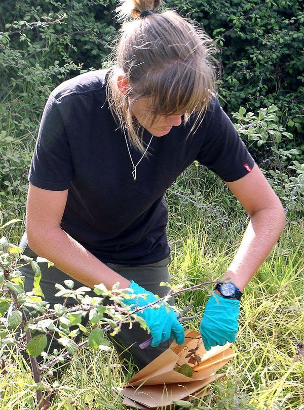 Un jeune plant suspecté de porter la bactérie