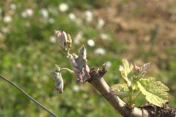 """""""On voit que les plantes ont été touchées, rapidement ça va devenir marron, c'est catastrophique"""" explique un viticulteur des Graves"""