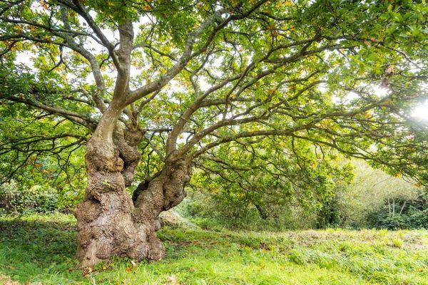 Le chêne de la vallée du Restic près de Brest, représente la Bretagne pour le concours de l'arbre de l'année