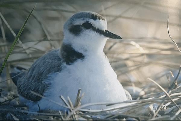 Le ravelot, oiseau nicheur menacé