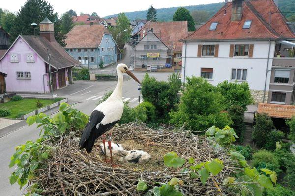 Une cigogne blanche et ses cigogneaux dans son nid, dans le village alsacien de Raedersdorf.