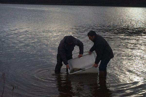 Les poissons sont comptés, pesés puis délicatement versés dans le lac de Guerlédan