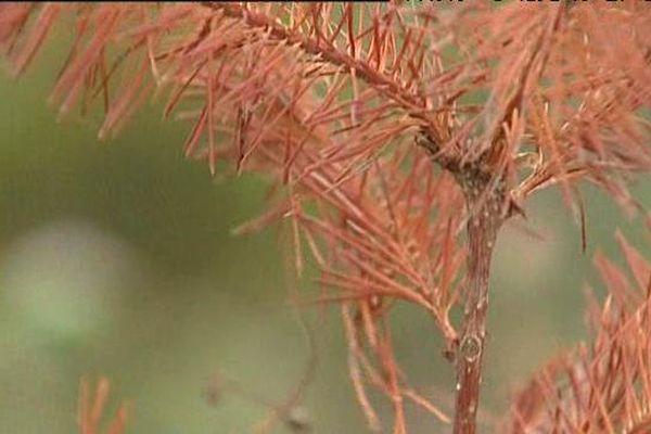 Dans les forêts privées de l'Allier, 1 arbre sur 10 est un pin Douglas.