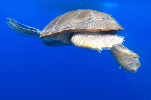 La tortue est libérée des crustacés qui s'accrochaient à son ventre. Elle avait un sac en plastique dans son colon qui lui a été retiré par coloscopie.