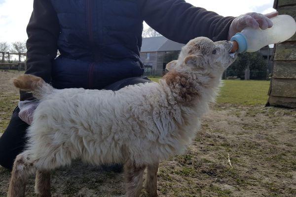 """Kiki"", un petit mouton d'Ouessant nourri au biberon"