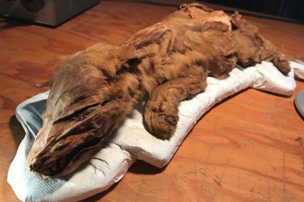 La jeune louve, baptisée Zhùr, par les autochtones, a été étudiée pendant près de quatre ans