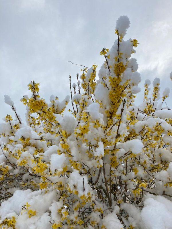 A la veille du printemps, la végétation se retrouve sous la neige.