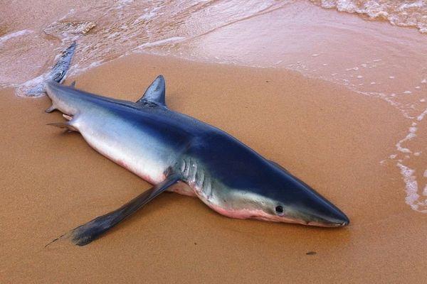 Un requin bleu s'échoue en Corse du Sud