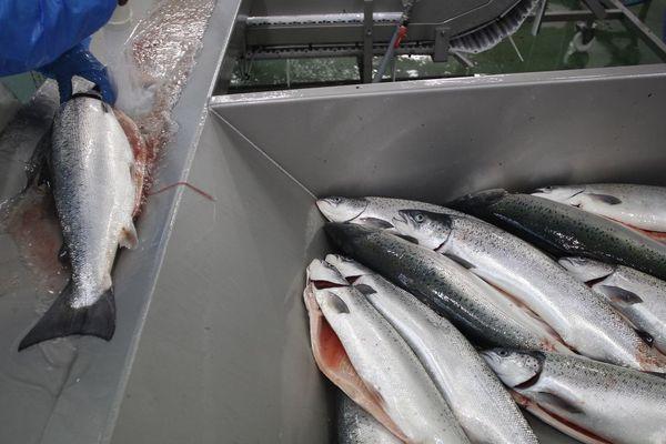 A Cherbourg, dans un élevage de saumons (2012)