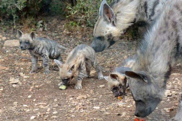 Cette naissance de hyènes rayées est exceptionnelle en Europe