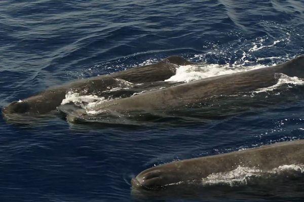 Le groupe de cachalot a été observé au large de Nice ce mercredi 21 août.