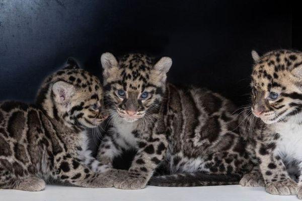 Trois panthères nébuleuses, un mâle et deux femelles, sont nées pendant le confinement au parc zoologique et botanique de Mulhouse