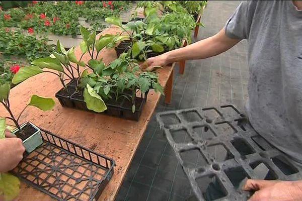 Les plants de légumes et fruits cultivés dans les serres municipales de Mont-de-Marsan sont distribués aux habitants.