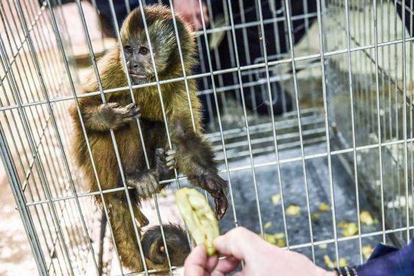 Le petit singe capucin a été capturé