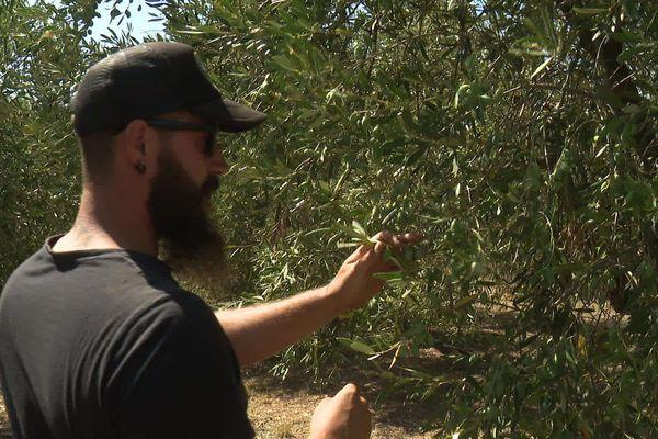 Au domaine des Pères, près de Trèbes, la famille Bardou alertée ausculte les 4500 oliviers qui poussent depuis 3 générations.