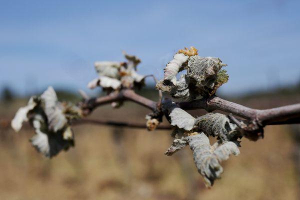 En Loire-Atlantique, plusieurs petits matins de gel à -3 ou -4°  ont détruit la vigne en plein bourgeonnement, entre 50 et 100% selon les parcelles