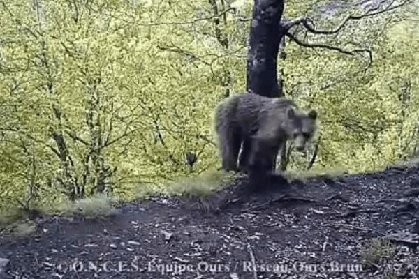 L'un des ours filmés par les caméras automatiques au mois de juin.