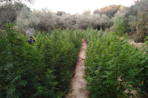 La silhouette au milieu des plants de cannabis donne l'échelle de leur taille, entre 2m 50 et 3m, la plus grosse prise de l'année pour le Gard.