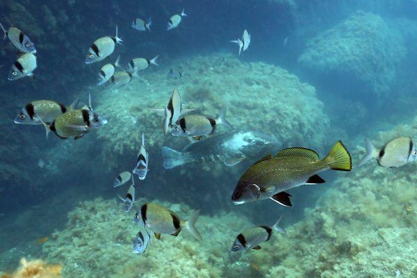 Mérou et saupes dans la réserve naturelle marine de Banyuls-sept 2019