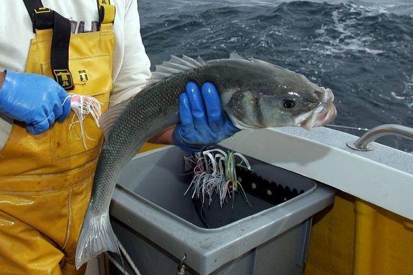 La pêche à la ligne préserve l'espèce et la qualité gastronomique du bar