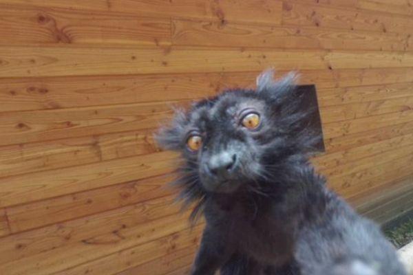 Un selfie de lémurien... ça donne ça !