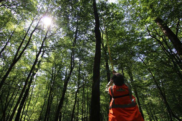 Les feuilles de chêne pédonculé sont parfois perchées à plus de 35 mètres de hauteur.